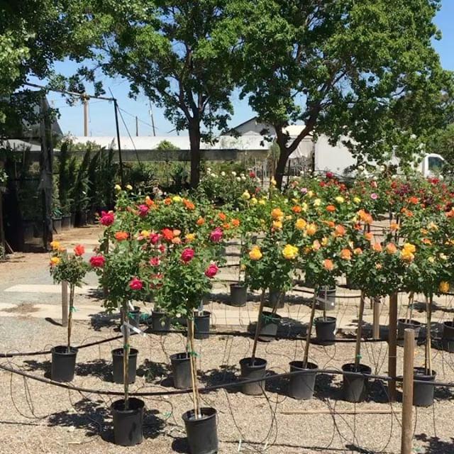 Rose Trees