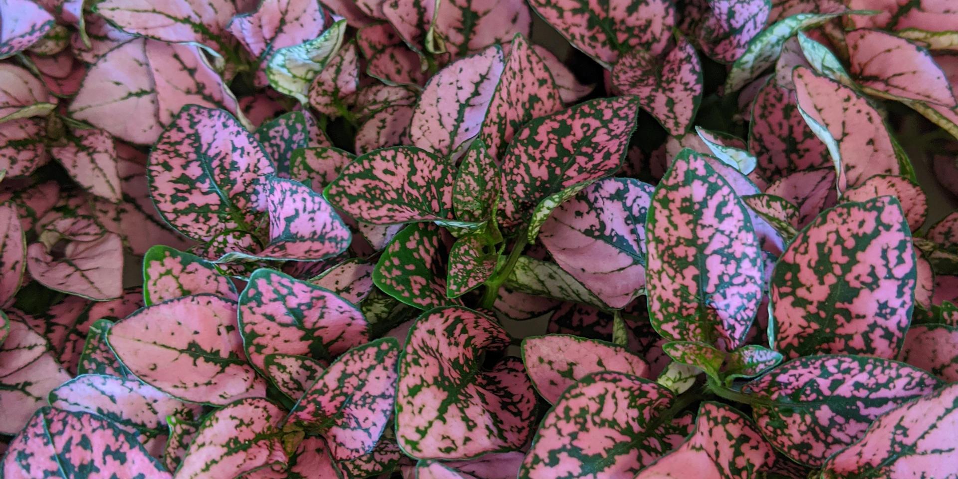 Hippo/Polka Dot Plant