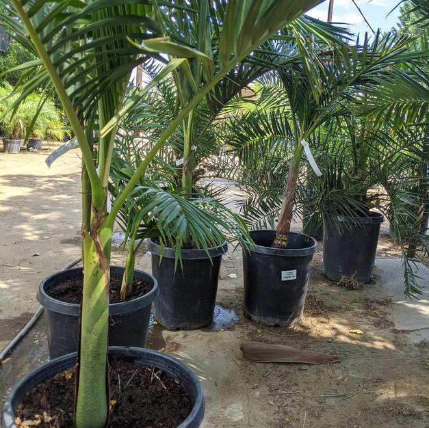 King Palms