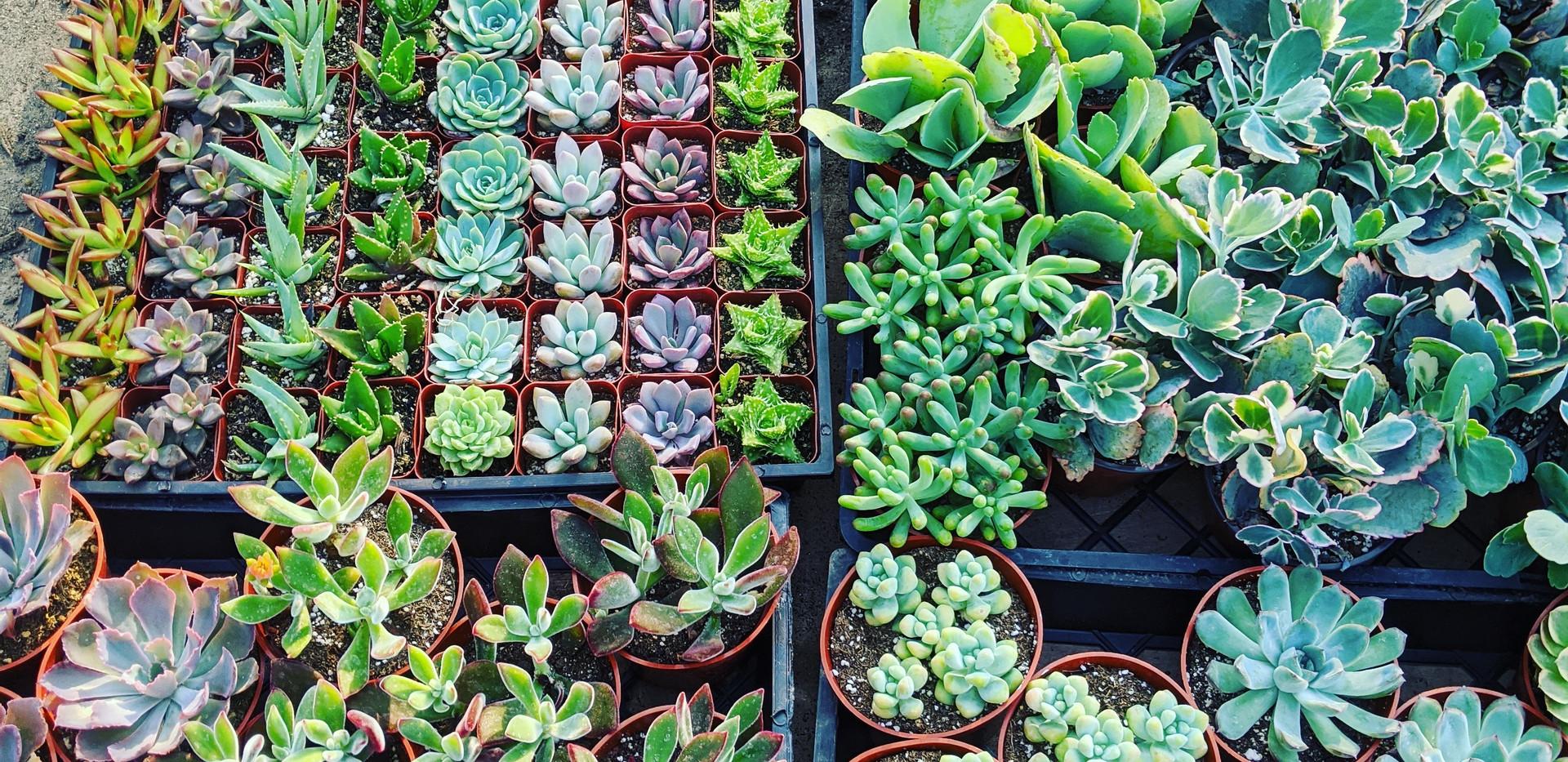 Mixed Succulents