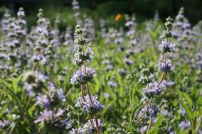 Salvia Bee's Bliss