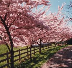 Akebono Cherry Tree