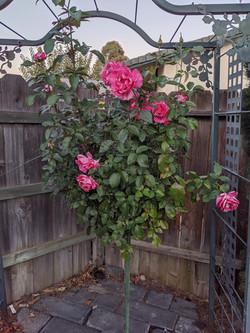 Customers Rose Tree