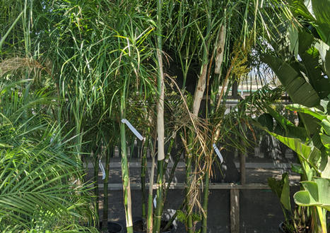 Baby Queen/Bamboo Palm