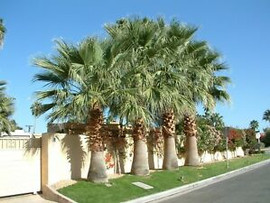 California Fan Palms
