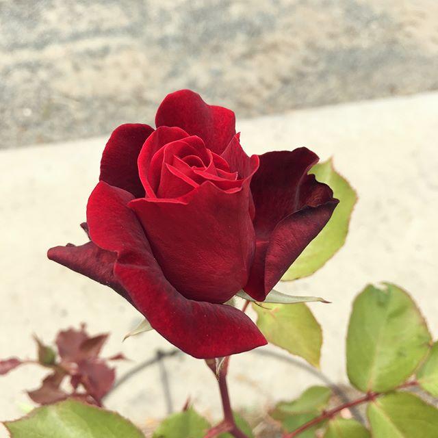 Legend Rose