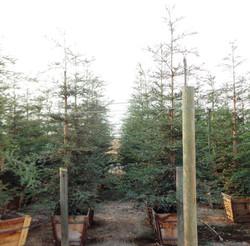 Sequoia sempervirens 'Aptos Blue'