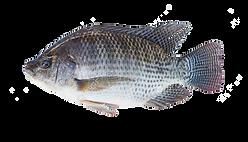 Nile Tilapia.png