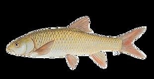 Smallmouth Yellowfish.png