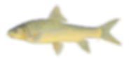 Largescale Yellowfish.png
