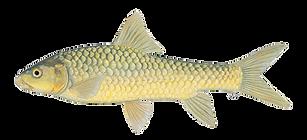 Largescale Yellowfish.png