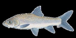 Smallscale yellowfish.png