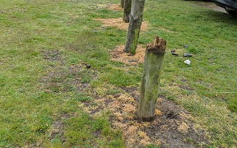 Grass burnt from glyphosate use by Surrey County Council contractors on Albury Heath in Guildford
