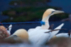 Sea bird being choked by a plastic cord signifying the plastic pollution crisis and its effects on marine life, marine mammals, and sea birds
