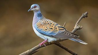 turtle dove.jpg
