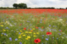 Wildflower meadow allowed to grow back to its natural state throug rewilding, increasing pollinator and insect numbers and rejuvinating habitat for wildlife