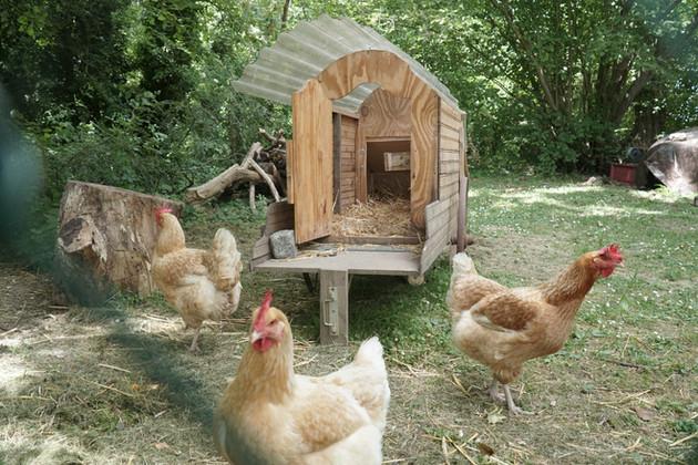 Les poules doyennes du Moulin !