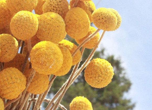 Yellow Billy Balls