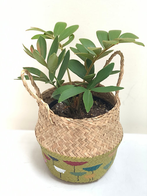 Mid century handrawn belly baskets with plant included