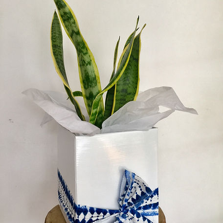Mother in Law's Tongue/Sansevieria