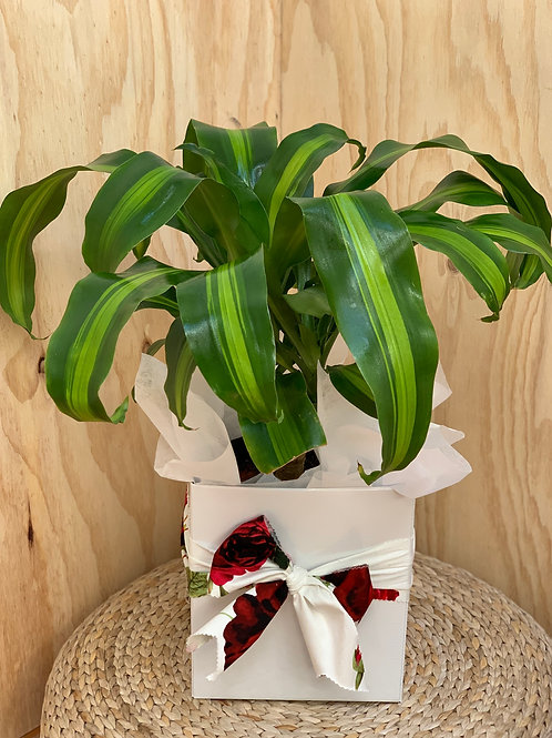 Dracaena 'Corn Plant'