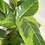 Thumbnail: Ficus 'Lemon Lime'