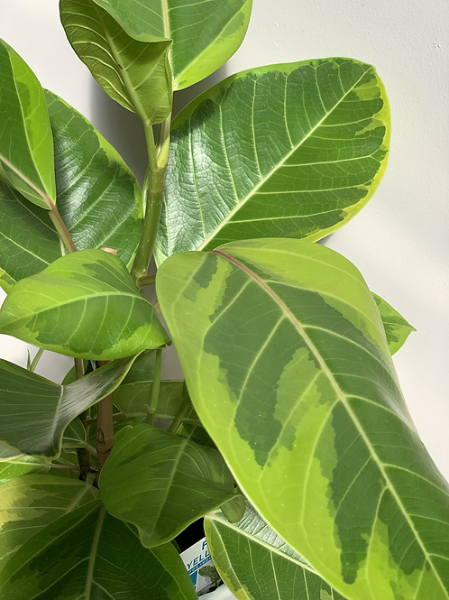 Ficus 'Lemon Lime'