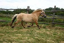 Fjord Horse stallion