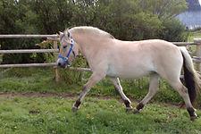 Blue Raven Fjord Horse