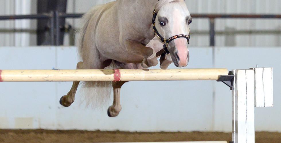 AMHA Stallion Directory