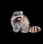 raccoon-sitting-11528194782v4eyd0g2gw_ed