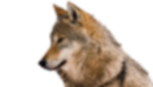 wolf-nobackground.png