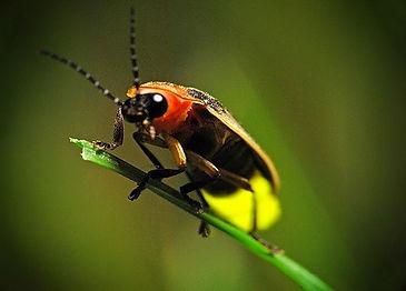 firefly-pics2_edited.jpg