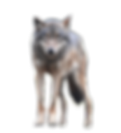 download-Wolf-PNG-transparent-images-tra