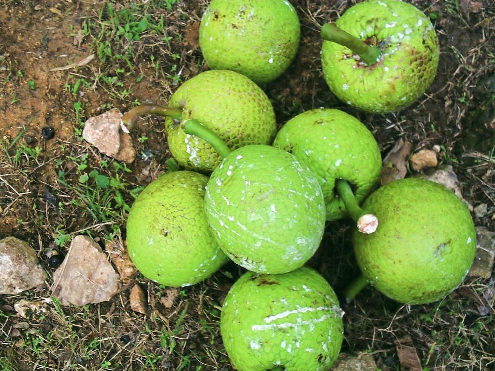 Breadfruit, Bois Content