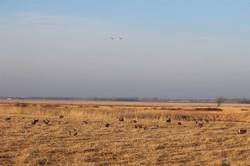 Sandhill Cranes flying over the lek.