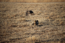 Sparring male Prairie Chickens.