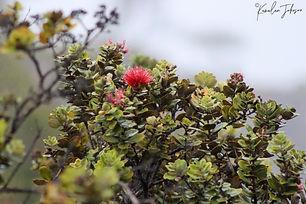 ʻŌhiʻa_Kīlauea_7 Nowemapa 20 (6).jpg