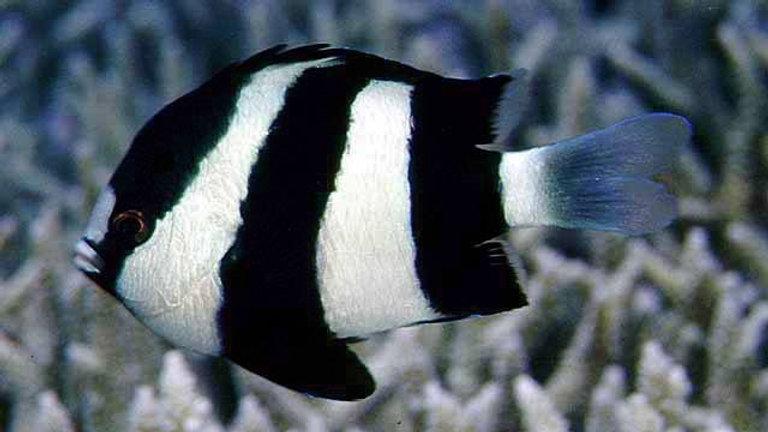 Three Stripe Damsel