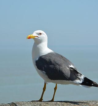 seagull 1.jpg