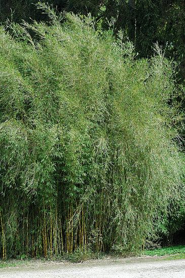 vente de bambous les bambous de laurent vente de bambous non envahissants 4. Black Bedroom Furniture Sets. Home Design Ideas