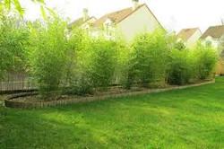 Bambous haie