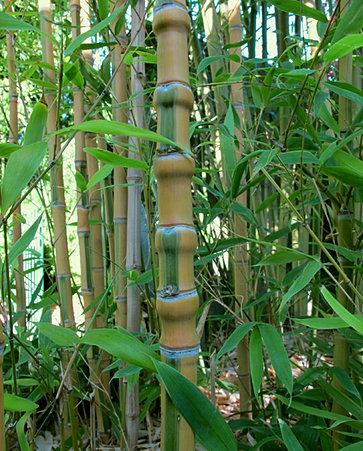 vente de bambous de collection tarn midi pyr n es. Black Bedroom Furniture Sets. Home Design Ideas