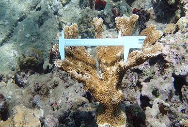 measuring coral image.jpg