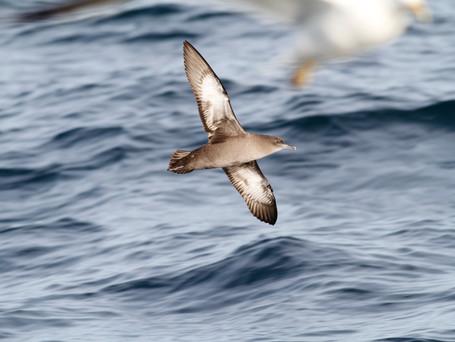 Balearic shearwater