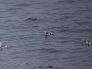 Red-necked phalarope - a first for Scilly Pelagics