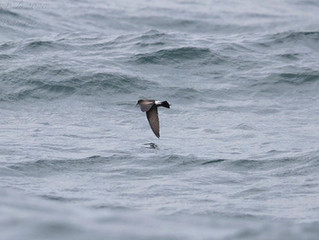 Wilson's Petrel on first trip of the season!