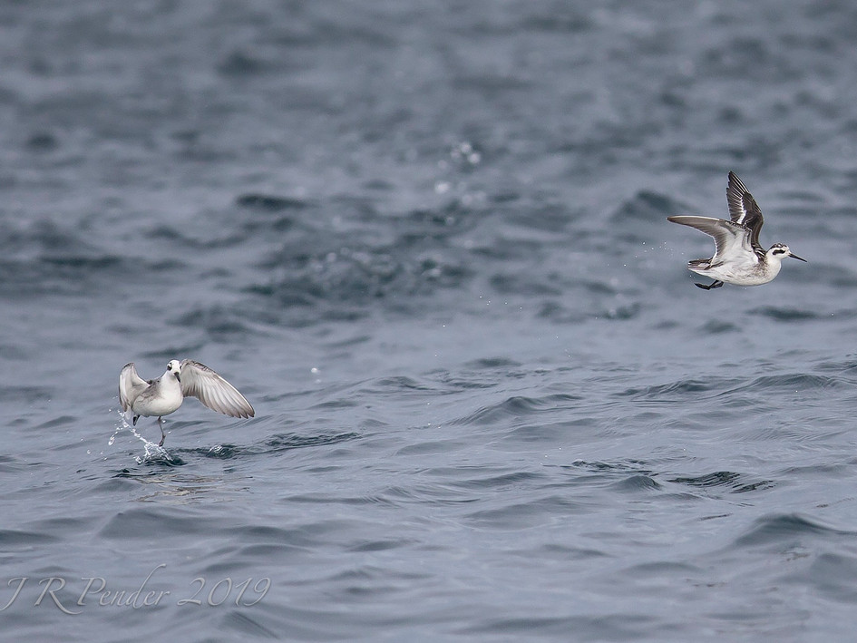 Grey and Red-necked Phalaropes