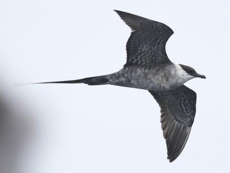 Long-tailed skua