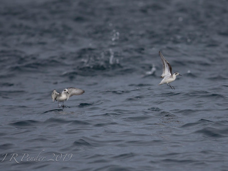 Grey and Red-necked Phalarope